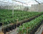 Kỹ thuật trồng ớt ngọt trên giá thể theo hướng VietGAP