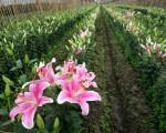 Quy trình kỹ thuật trồng hoa lily