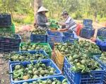 Giá trái cây nhích dần, nhà vườn Miền Tây trông chờ vào Tết
