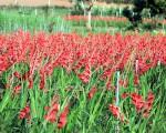 Quy trình kỹ thuật trồng hoa lay ơn